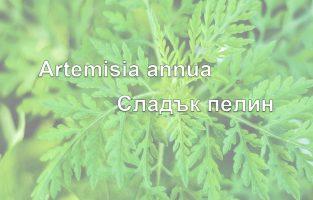 Сладък пелин – Artemisia annua